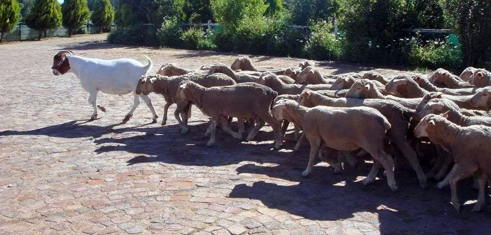 Функция козла-провокатора -- вести доверчивое стадо на убой